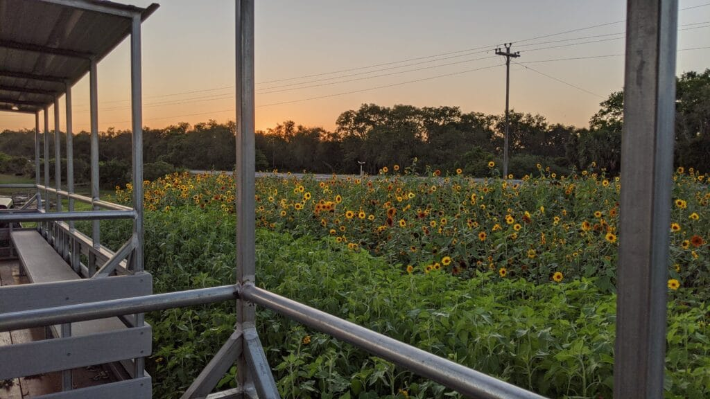 sunflower field at sunset in front of white porch